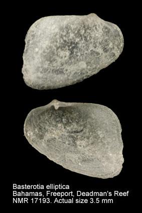 Basterotia elliptica