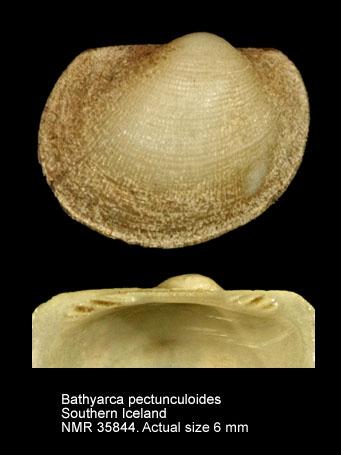 Bathyarca pectunculoides