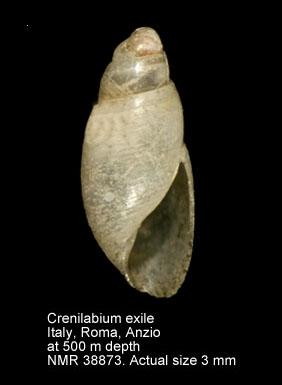 Crenilabium exile