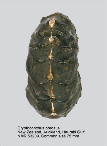 Cryptoconchus porosus