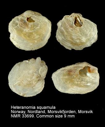 Heteranomia squamula