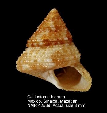Calliostoma leanum