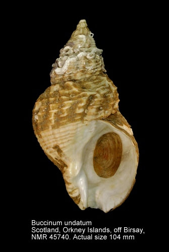 Buccinum undatum