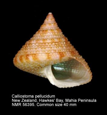 Calliostoma pellucidum