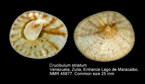 Crucibulum striatum