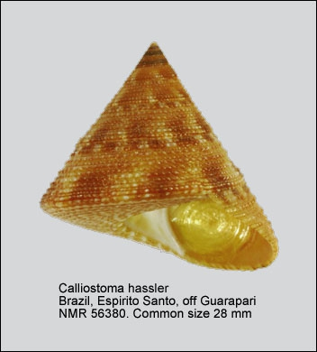 Calliostoma vinosum