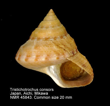 Tristichotrochus consors