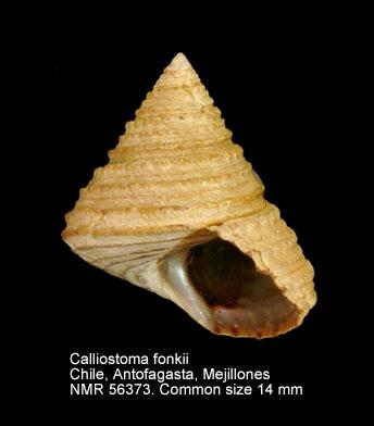 Calliostoma fonkii