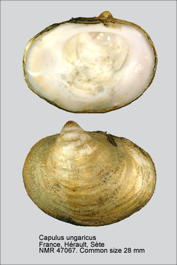 Capulus ungaricus