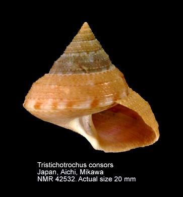 Calliostoma kiiense