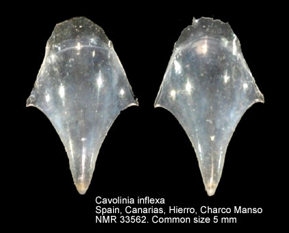 Cavolinia inflexa