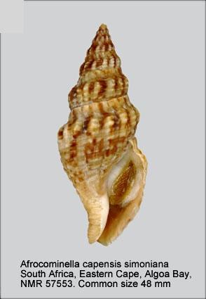 Afrocominella capensis simoniana