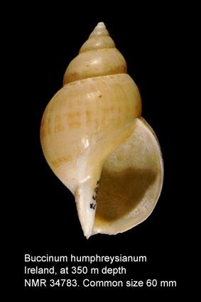 Buccinum humphreysianum