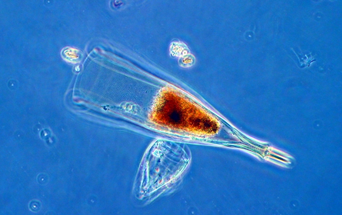 Xystonella treforti