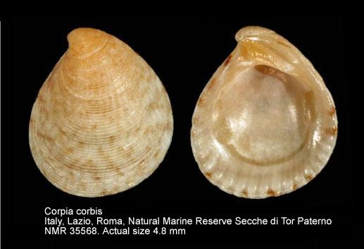 Coripia corbis