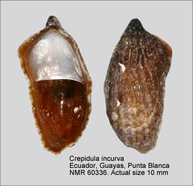 Crepidula incurva