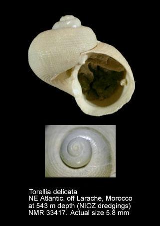 Torellia delicata