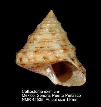 Calliostoma eximium