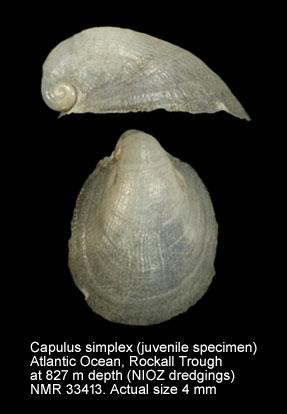 Capulus simplex