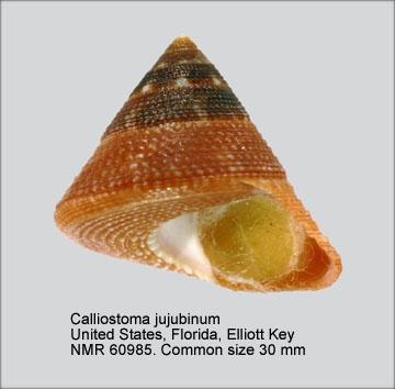 Calliostoma jujubinum