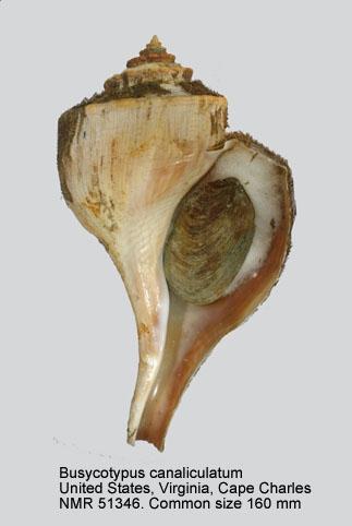 Busycotypus canaliculatus