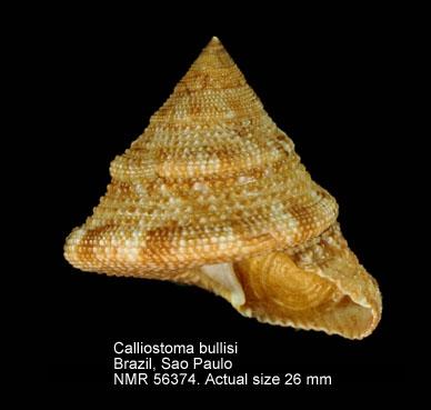Calliostoma bullisi