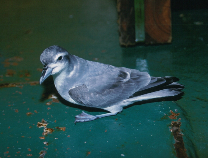 Broad-billed prion