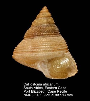 Calliostoma africanum