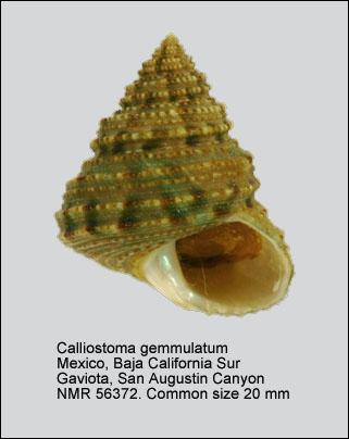 Calliostoma gemmulatum