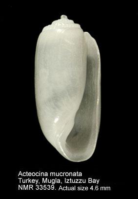 Acteocina mucronata