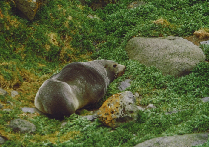 sub-Antarctic fur seal