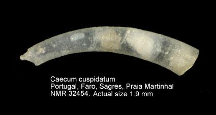 Caecum cuspidatum