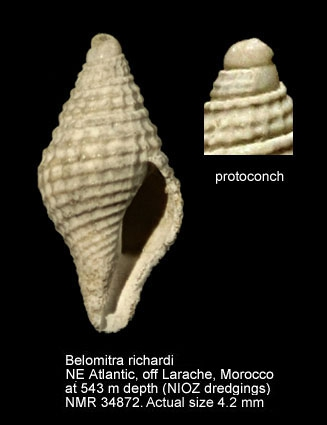 Belomitra richardi