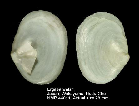 Ergaea walshi