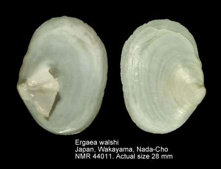 Siphopatella walshi