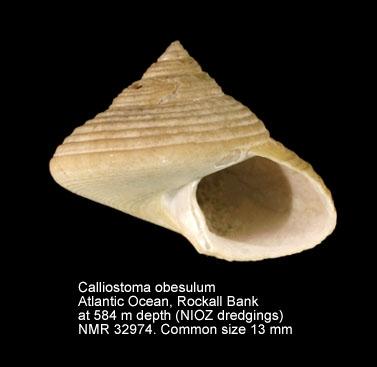 Calliostoma obesulum