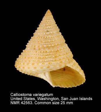 Calliostoma variegatum
