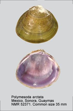 Polymesoda arctata