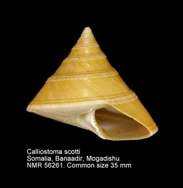 Calliostoma scotti