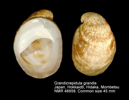 Grandicrepidula grandis