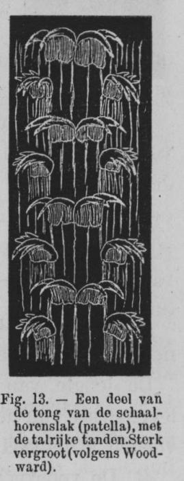 Eben (1884, figuur 13)