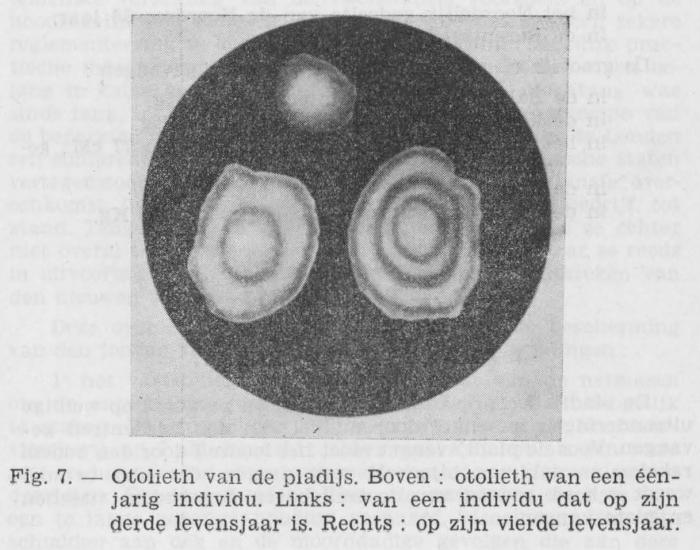 Gilis (1942, figuur 7)