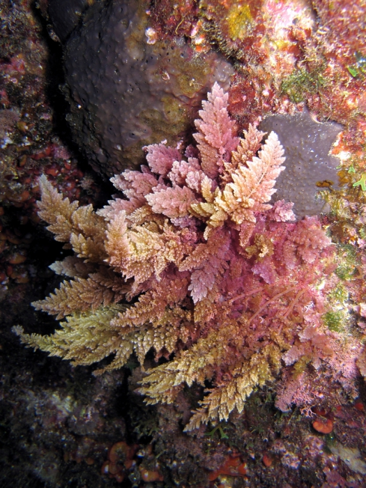 Asparagopsis taxiformis