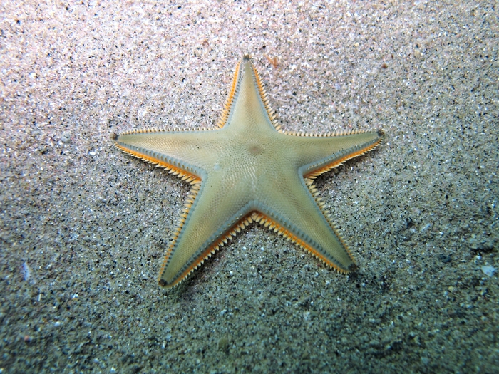 Astropecten jonstoni