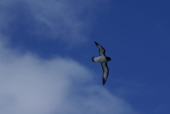 Cape Petrel in flight