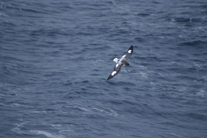 Cape Petrel in flight (back view)