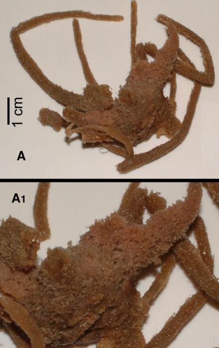 Ulosa capblancensis
