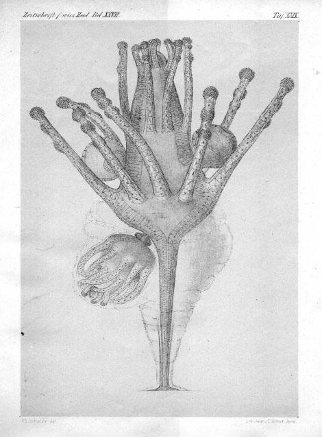 Tricyclusa singularis