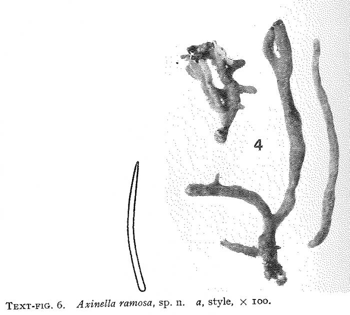 Axinella ramosa Burton, 1954