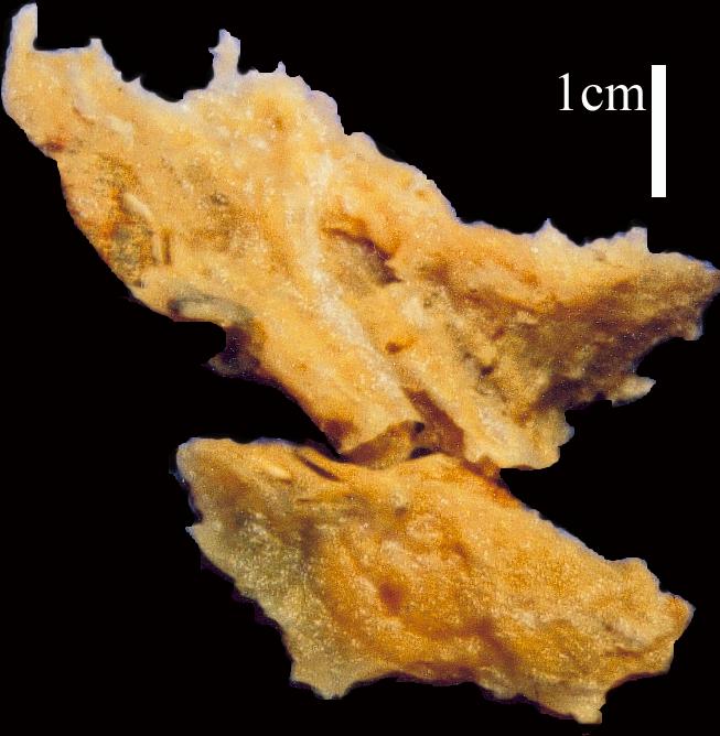 Hymeniacidon glabrata Holotype